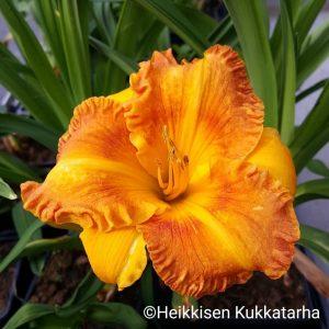 Hemerocallis-tarhapaeivaenlilja-orange-nassaujpeg