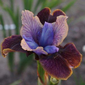 Iris-siperiankurjenmiekka-black-joker