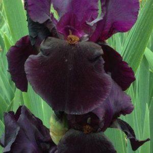 Iris-tarhakurjenmiekka-black-swan