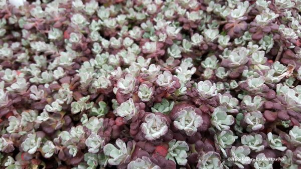 Sedum-Lusikkamaksaruoho-purpureum