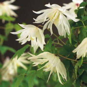 Alppikaerhoe-albina-plena