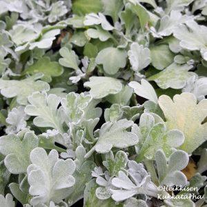 Artemisia-Hiekkamaruna