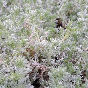 Artemisia-Ohotanmaruna