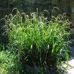 Carex-Nuokkusara