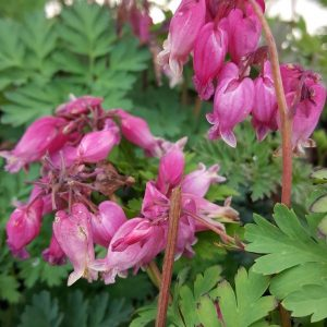 Dicentra-Purppurapikkusydaen-luxuriant
