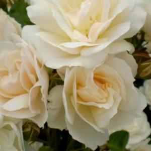 Easyelegans-Ruusu-champagne-wishes