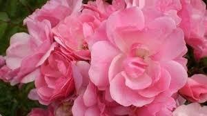 Easyelegans-Ruusu-pinktopia