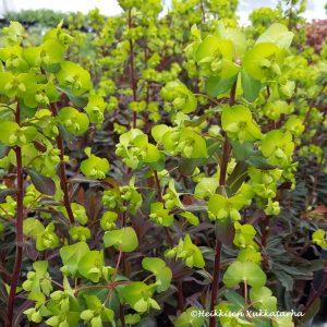 Euphorbia-Mantelityraekki