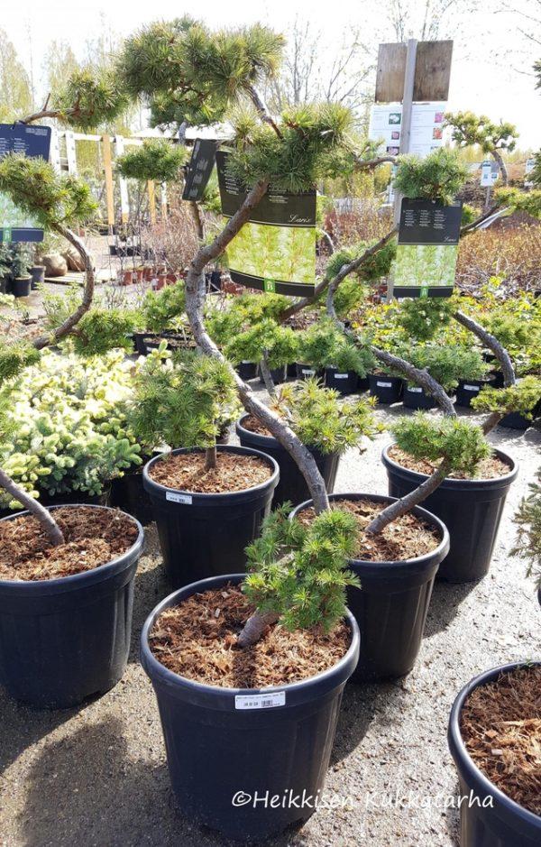 Japaninlehtikuusi-bonsa