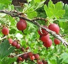 Karviainen-lepaan-punainen