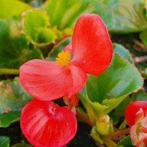 Kesaebegonia-punainen