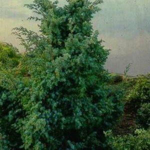 Kiinankataja-Blue-alps