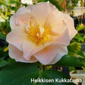 koeynnoesruusu-aboveandbeyond