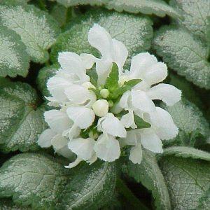 Lamium-Hopeataeplaepeippi-white-nancy