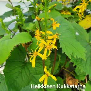Ligularia-Rakettinauhus