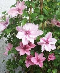 Loistokaerhoe-pink-fantasy