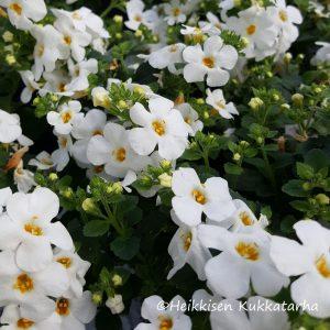 Lumihiutale-valkoinen