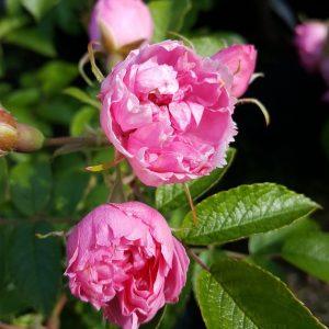 Neilikkaruusu-pink
