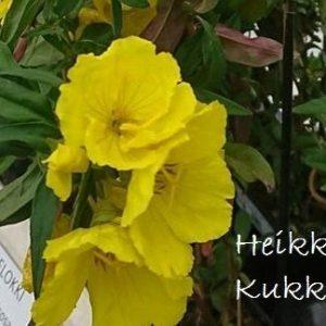 Oenothera-Kultahelokki