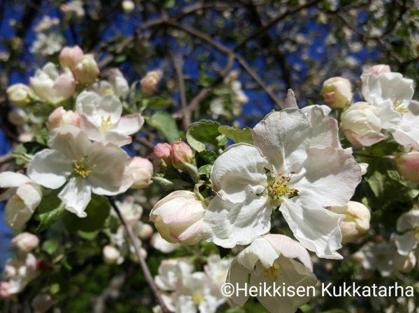Omenapuu-17