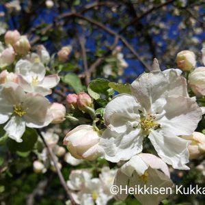 Omenapuu-30