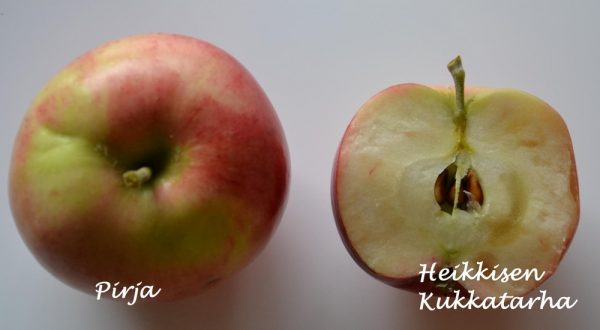 Omenapuu-pirja-2
