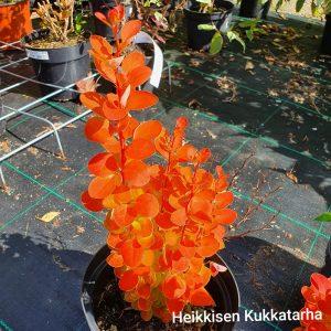 Purppurahappomarja-orange-ice