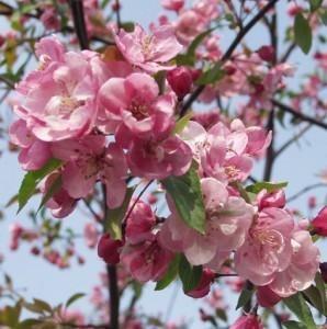 Purppuraomenapuu-aamurusko