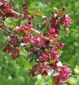 Purppuraomenapuu-royalthy
