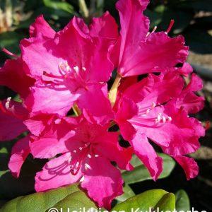 Rhododendron-Alppiruusu-hellikki