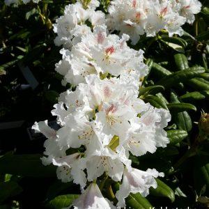 Rhododendron-alppiruusu-pma-tigerstedtii