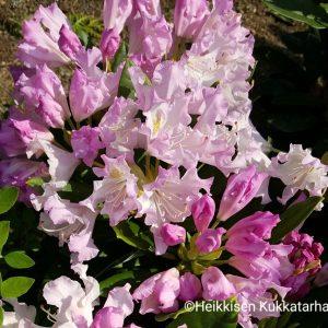 Rhododendron-Alppiruusu-pohjolantytaer