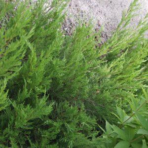 Rohtokataja-tamariscifolia