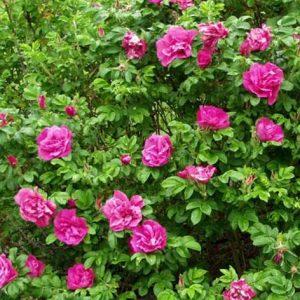 Ruusu-scarlet-pavement
