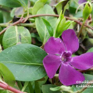 Vinca-Pikkutalvio-atropurpurea