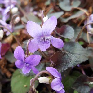 Viola-Purppuraorvokki