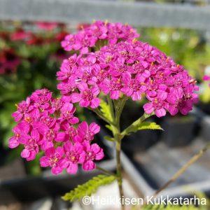 Achillea-Punakaersaemoe-cerise-queen