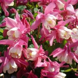 Aquilegia-Japaninakileija-cameo-rose-and-white