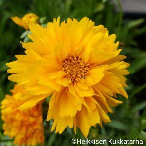 Coreopsis-Isokaunosilmae-grandiflora