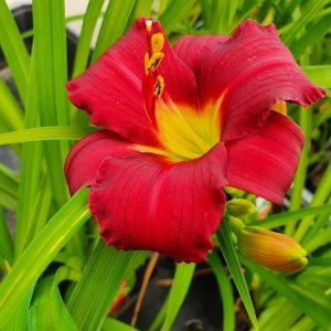 Hemerocallis-tarhapaeivaenlilja-little-gipsy