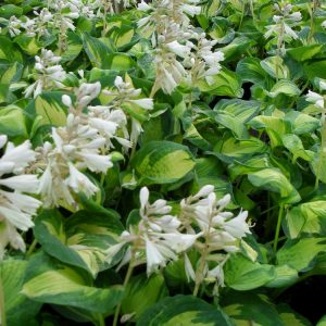 Hosta-Jalokuunlilja-great-expectation