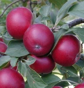 omeanpuu-Petteri