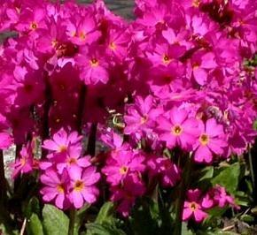 Primula-Himalajanesikko