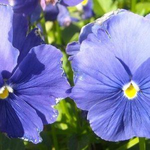 Viola-sarviorvokki-blue
