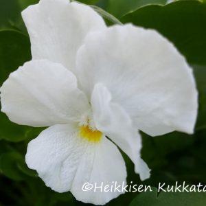 Viola-sarviorvokki-white