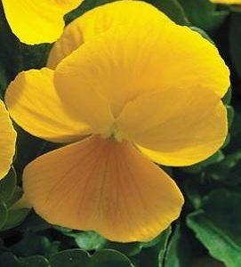 Viola-sarviorvokki-yellow