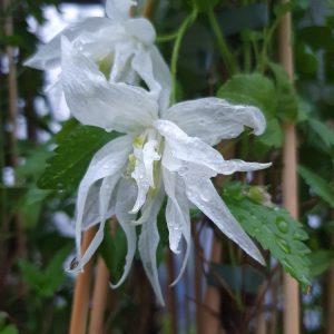 Alppikaerhoe-albina-plena-2