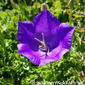 Campanula-Karpaattienkello-pearl-deep-blue