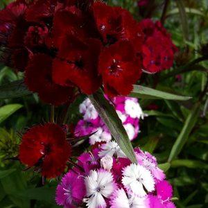 Dianthus-Harjaneilikka