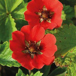 Hanhikki-Potentilla-hybrida-Gibsons-Scarlet